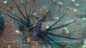 2282 invasive species lionfish on star coral head