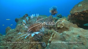 2252 two lionfish swim in gulf of mexico