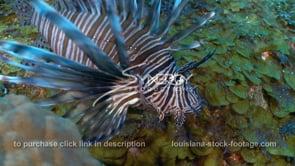 2260 invasive species lionfish close up static