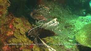 2262 two territorial lionfish fight on green coral