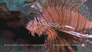2275 lionfish on coral reef in Gulf of Mexico