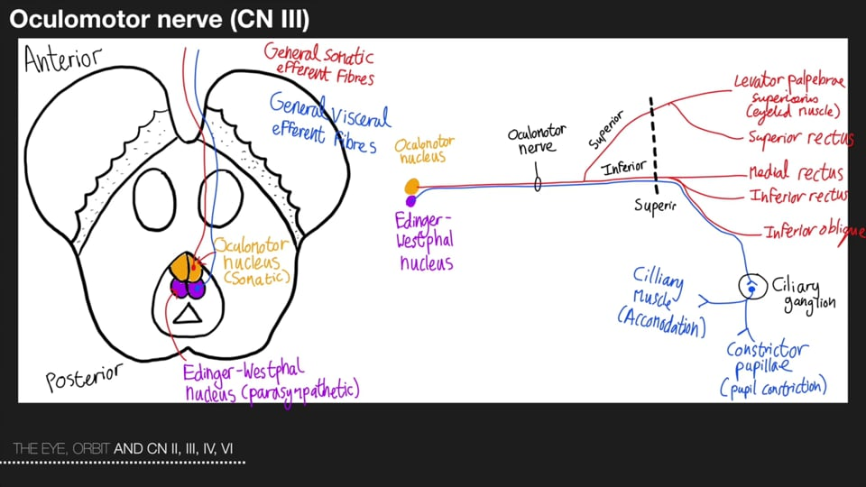 The Eye Orbit and the Cranial Nerves II,III, IV and VI Part 2