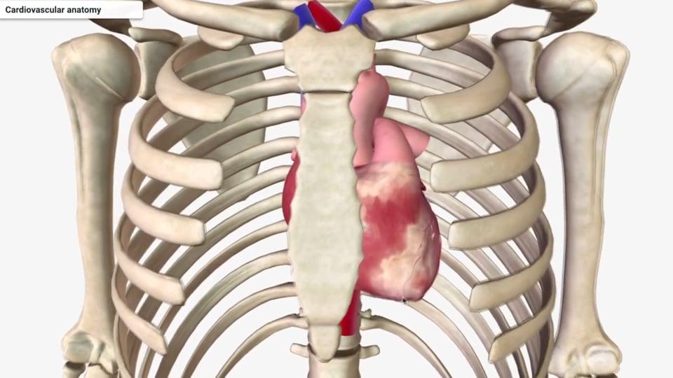 Cardiovascular Anatomy Part 1