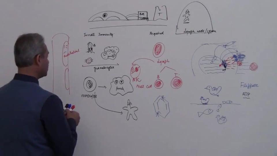 Neutrophils (part 4)