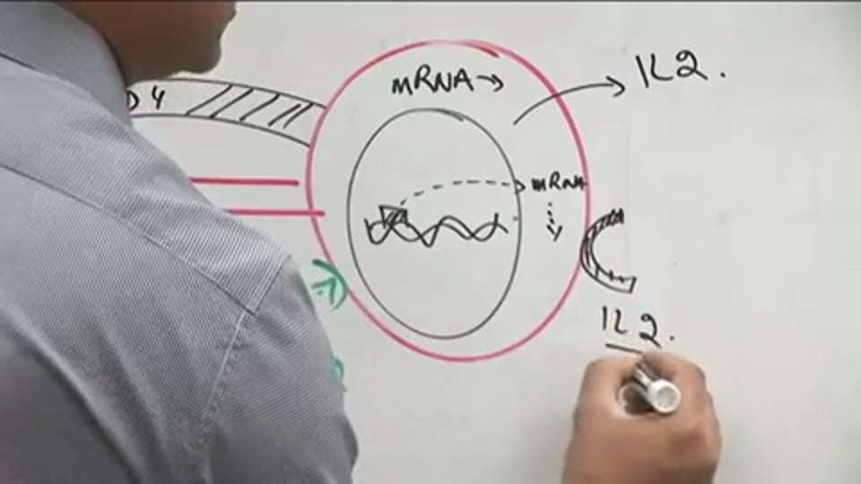 T Cell Functions (part 2)