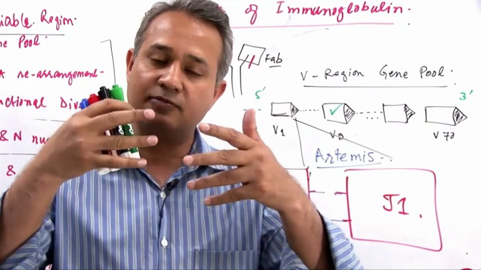 B Cell Functions (part 7)