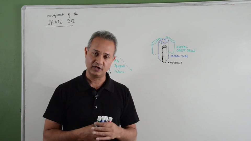 Spinal Cord Development