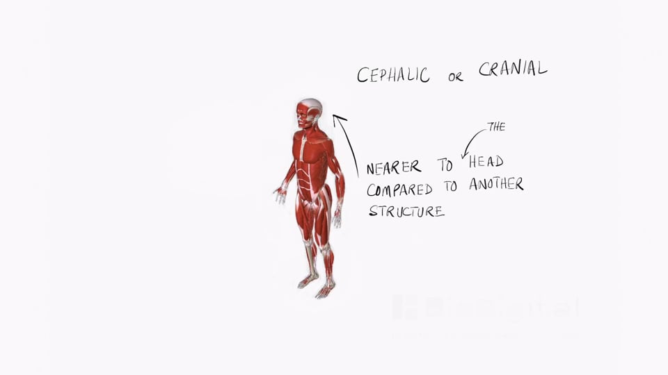 Anatomical Positions (part 2)