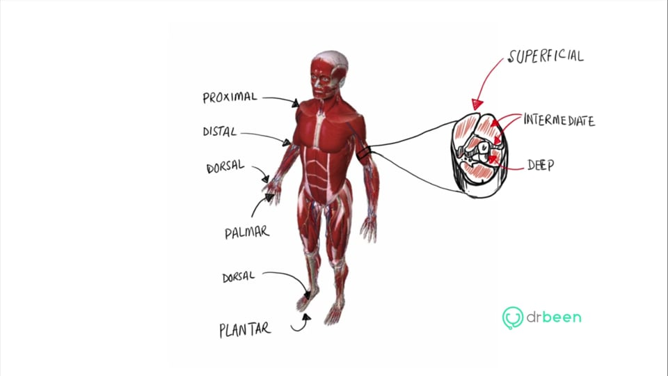 Anatomical Positions (part 3)