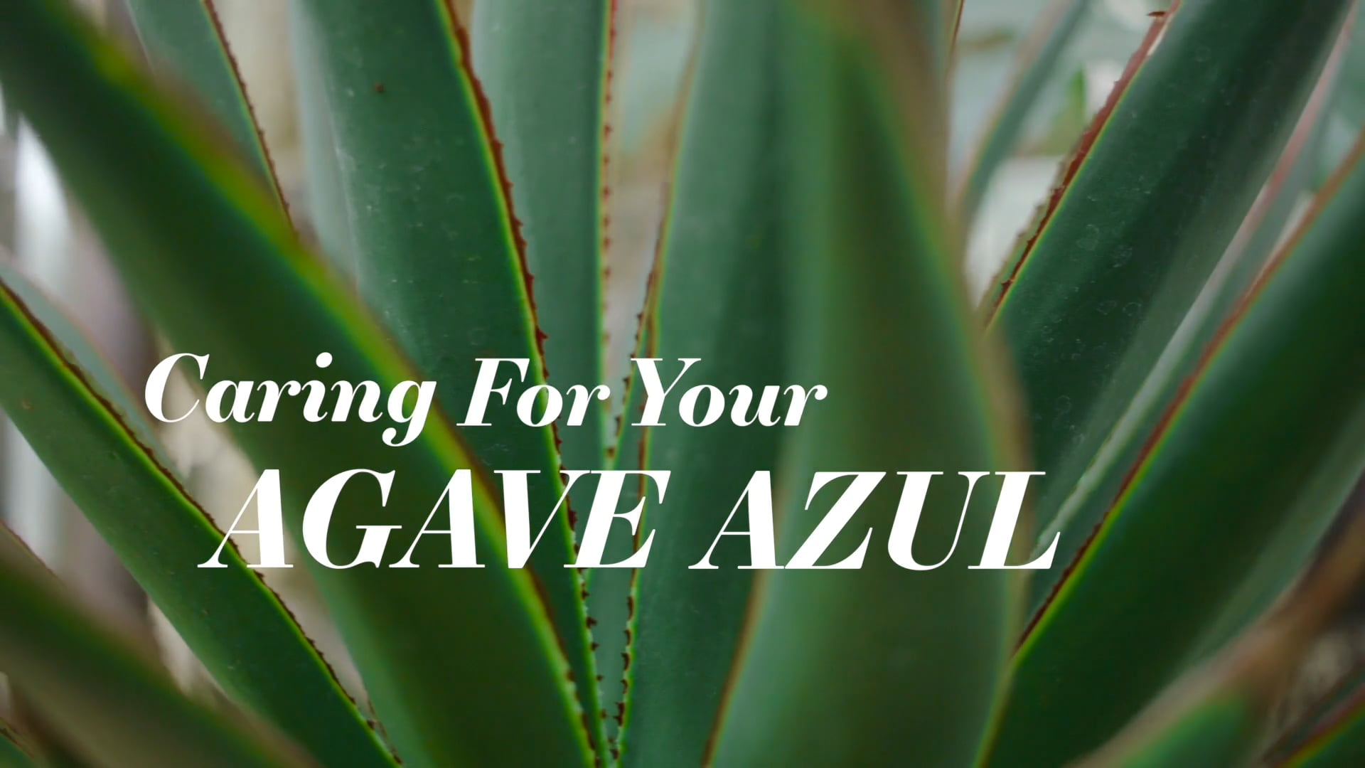 HOMESY X HILTON CARTER: Caring for Your Agave Azul