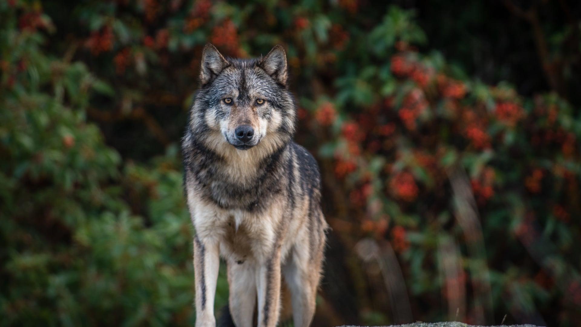 Takaya: Lone Wolf