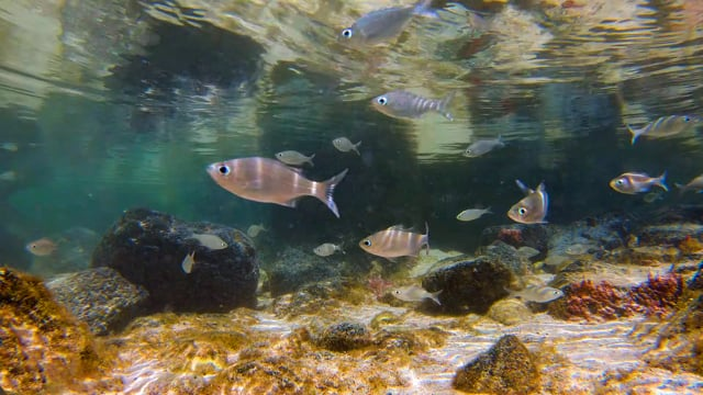 Small Fish of the Pacific Ocean - Nature Relax Video