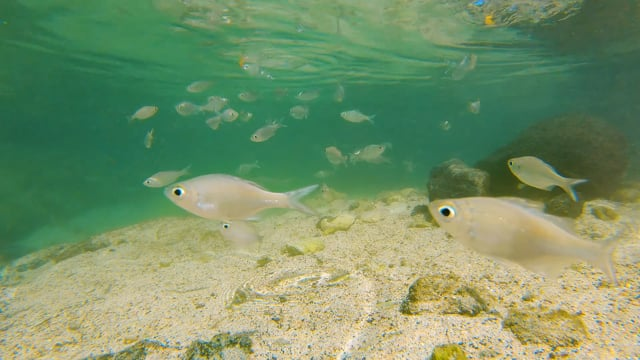 Small Fish of the Pacific Ocean - Short Relax Video