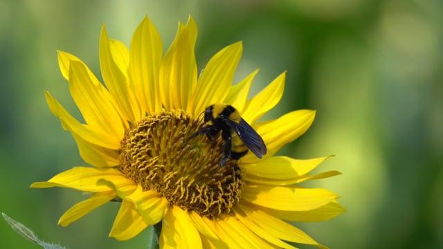 Bumble Bee, Sonoran