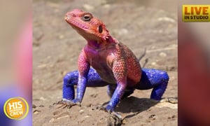 Someone found a lizard that looks like Spider-Man!