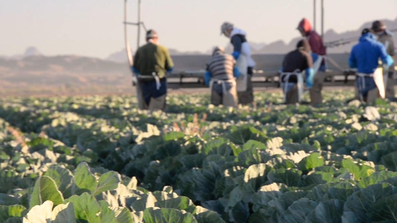 GreenGate Fresh's Cabbage Harvest in Yuma, AZ
