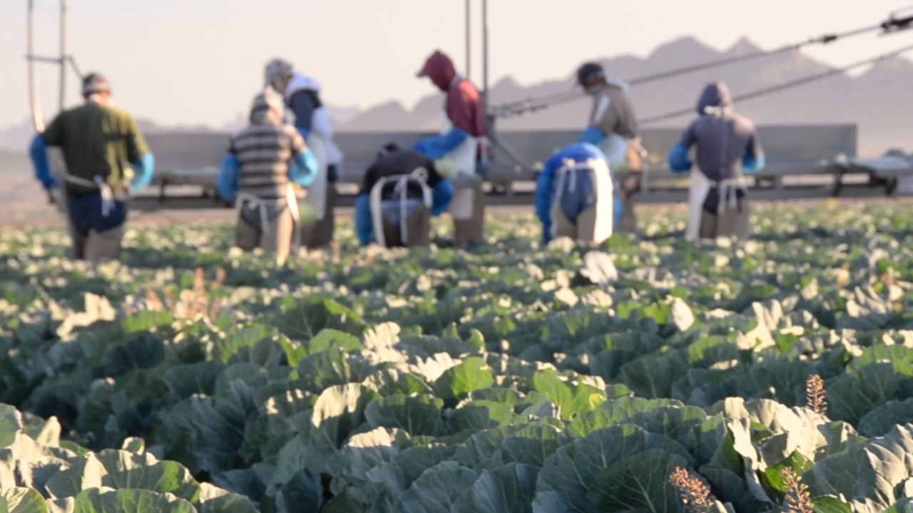 GreenGate's Field to Fresh Cut Cabbage
