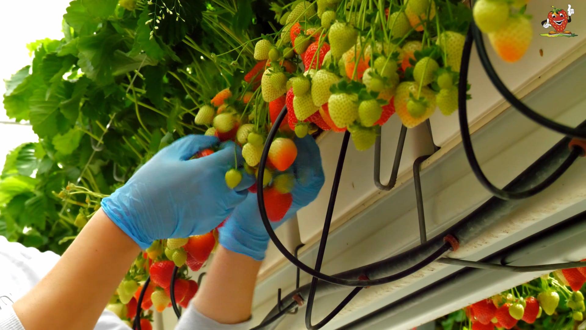 Imagefilm Fruchthof Hensen Erdbeerkulturen
