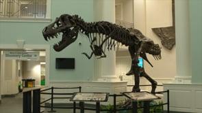 T Rex Skeleton Dominates Mayborn Museum